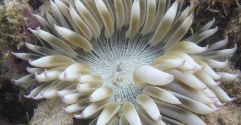 Phymanthus pinnulatus