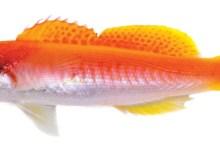 Luzonichthys kiomeamea