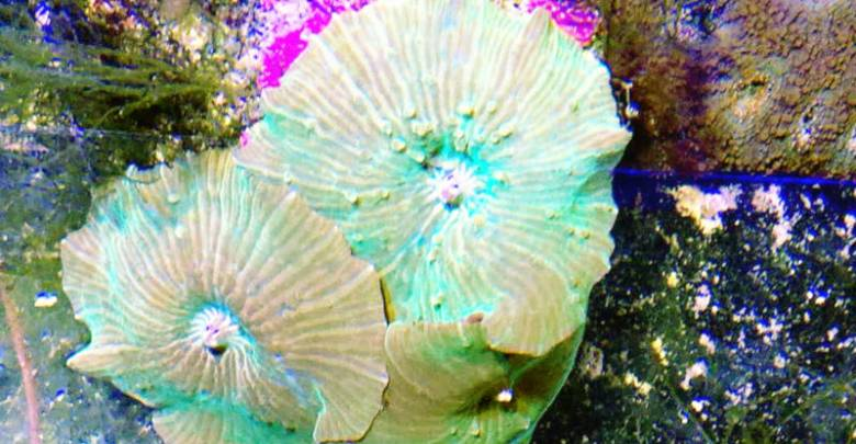 Mushroom Corals