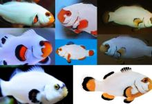 Photo of Platinum Clownfish, Step Towards Sustainability