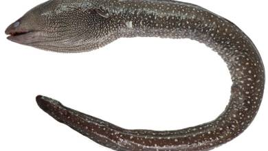 Photo of Gymnothorax smithi, A new species of white-spotted moray eel