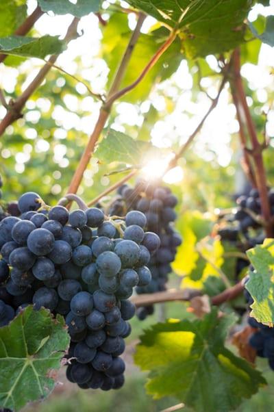 Wine grapes Upsplashphoto-1537640954479-bf1e7f9e391f