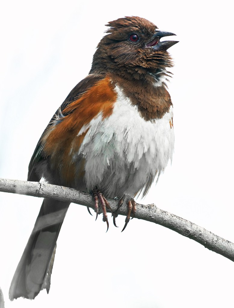 Eastern Towhee Flemale V2