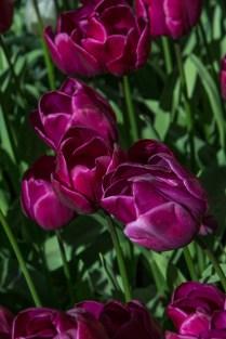 deep magenta tulip