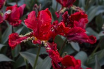 wild & crazy red tulip