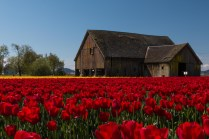 red tulips and old barn