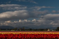 later day tulip field interesting sky