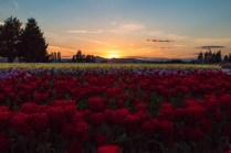 tulip field at sunset