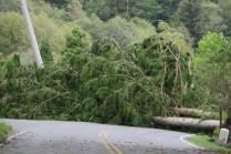 fallen stand of cedar trees
