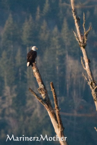 Eagle overlooking the Samish River.