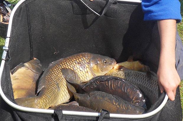 Carp in a net