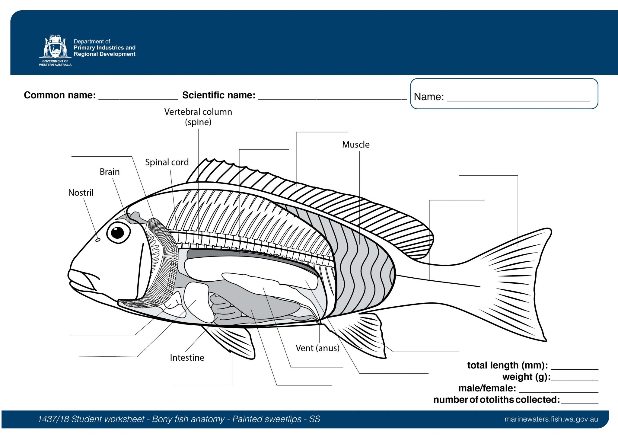 Student Worksheet Bony Fish Anatomy