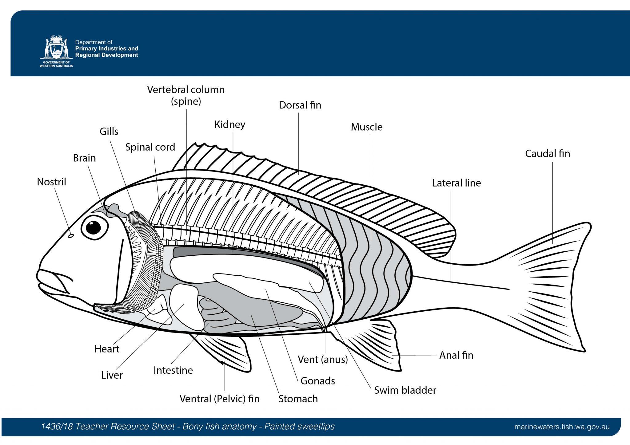 Teacher Resource Sheet Bony Fish Anatomy