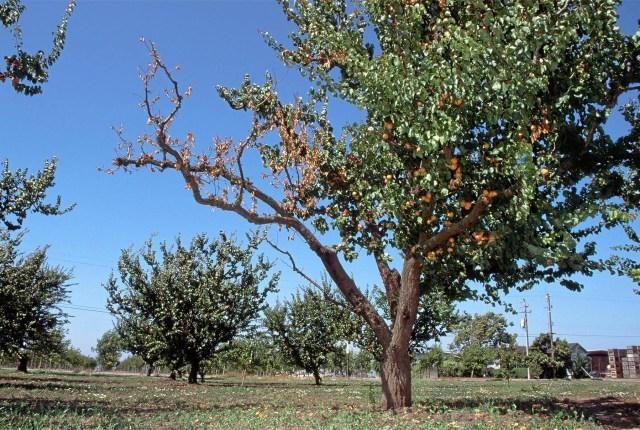 Photo by Jack Kelly Clark Apricot tree branch killed by eutypa.