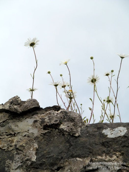 Daisies growing on top of the wall at The Old Pier Gallery, Broadford, Skye