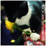 Roses: studio cat