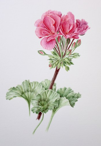 Boerengeranium in aquarel