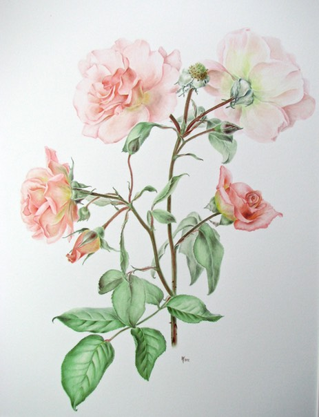 Rosa 'Compassion' – klimroos 'Compassion' (aquarel)