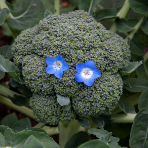 Broccoli, vegetable, healthy, garden, organic