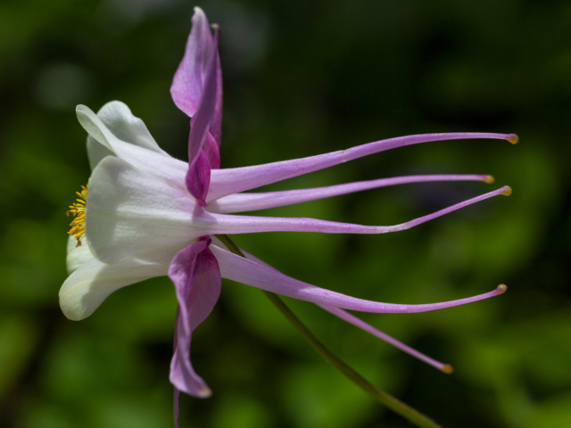 columbine, flower