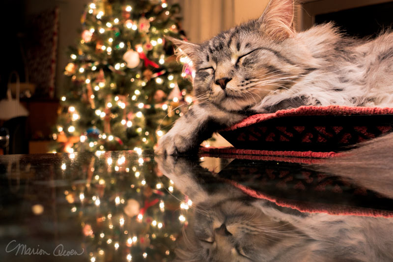 cat, bed, Christmas, tree, reflections
