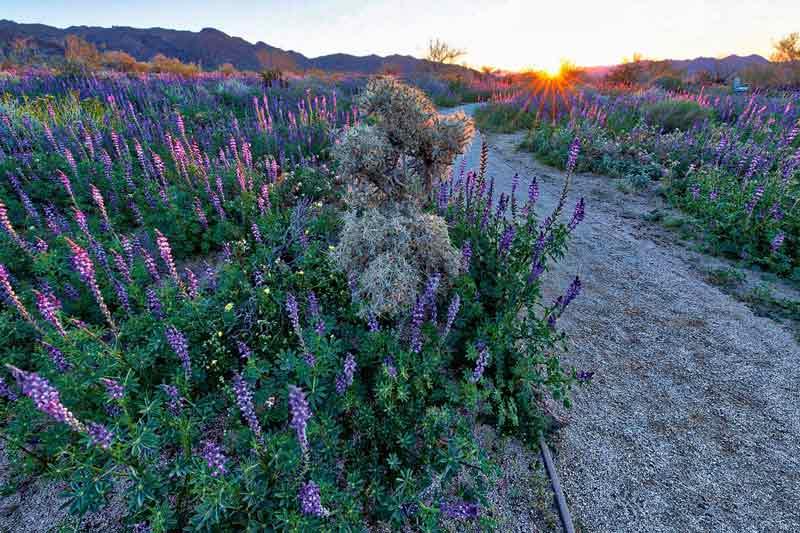 Wildflowers, Joshua Tree National Park, cactus, nature photography