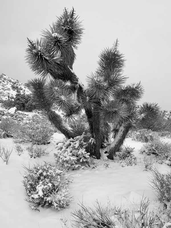 Joshua Tree National Park, snow, cactus, nature photography