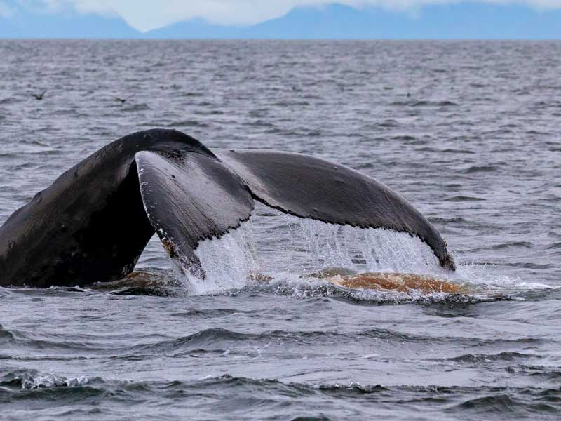 whale poop pops up behind a humpback whale