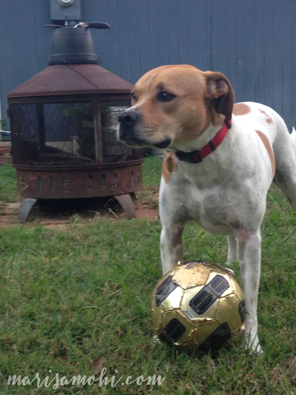 Rosie the pit bull and her soccer ball