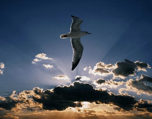 gabbiano in volo