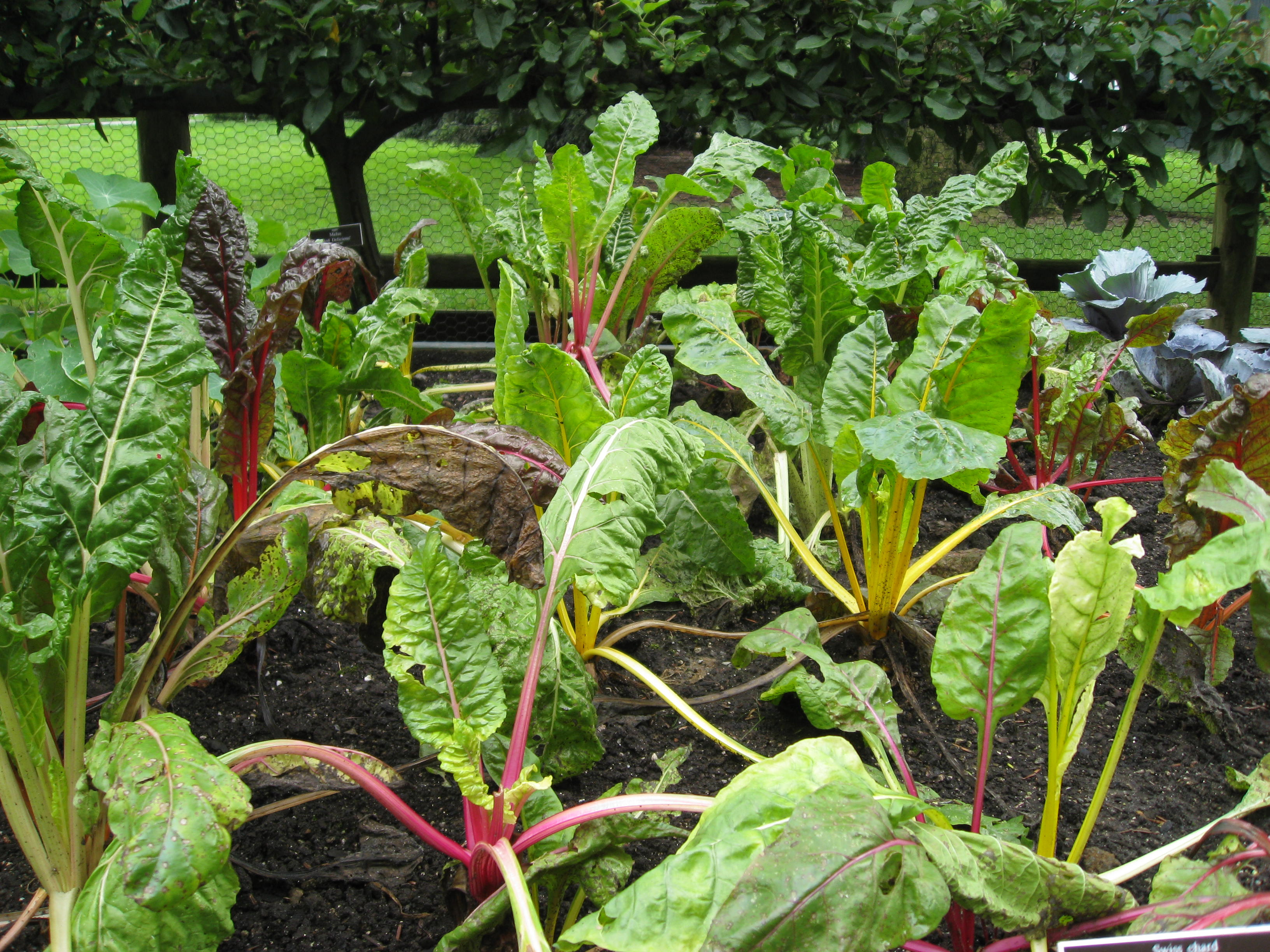 Chard! Love it of course!