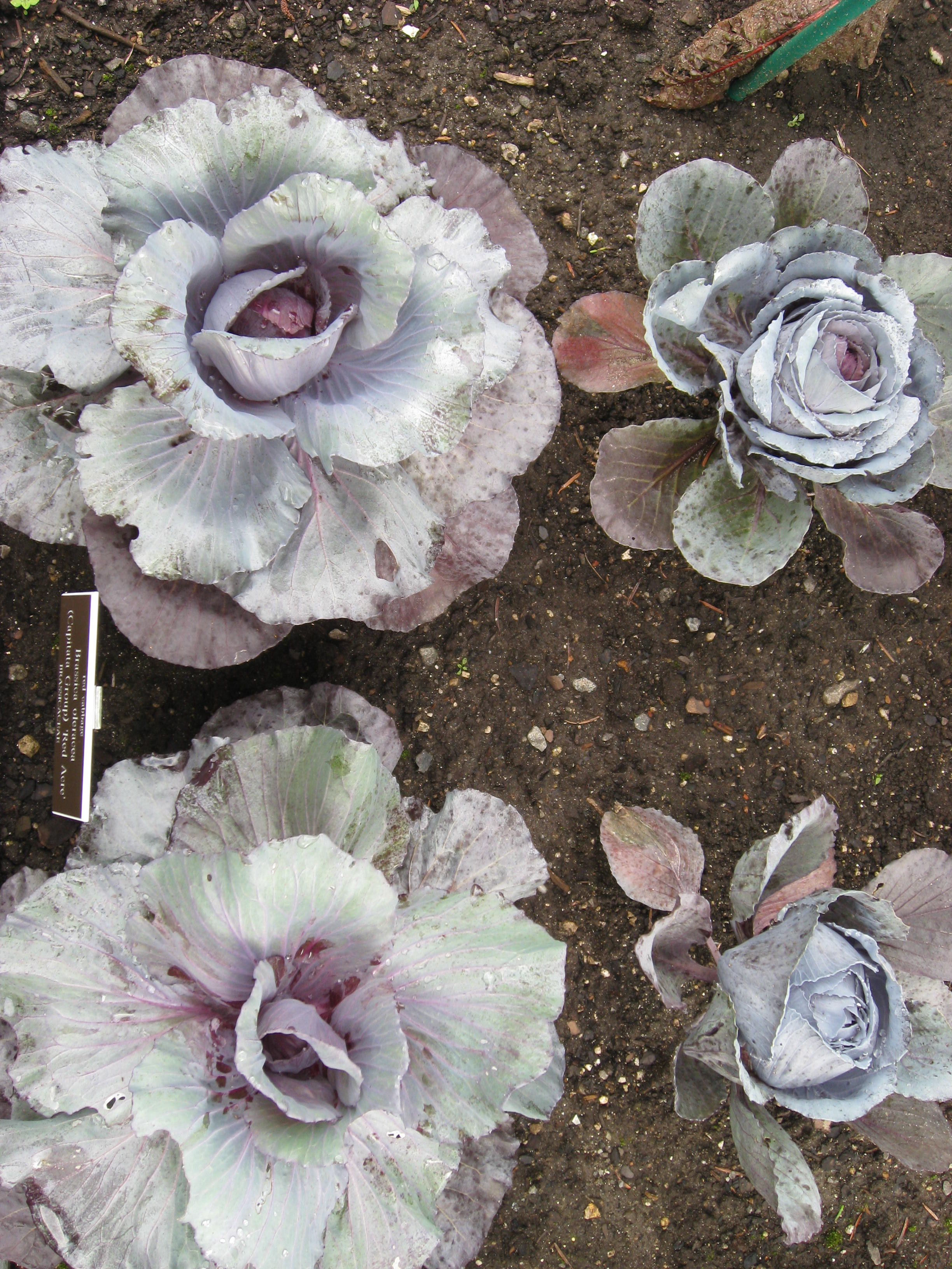 "How pretty are these red cabbage ""flowers""!!"