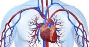 sistem kardiovaskuler pada manusia