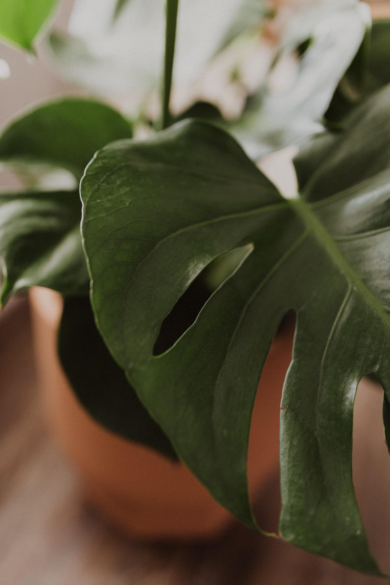 beautiful monstera plant leaf