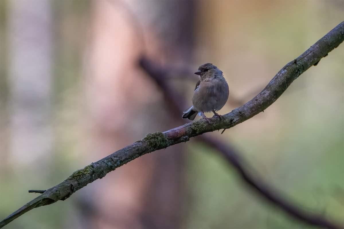 Cinteza (Fringilla coelebs)-WILDLIFE PHOTOGRAPHY-Pasari in natura-2020