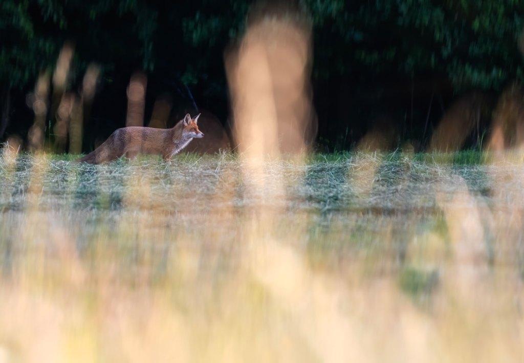 Vulpe rosie-Vulpea vanatorul perfect-Surpriza la marginea padurii