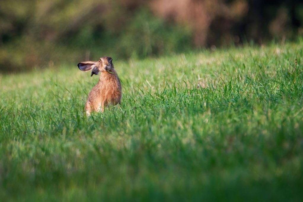 Iepurele de camp-Lepus europaeus