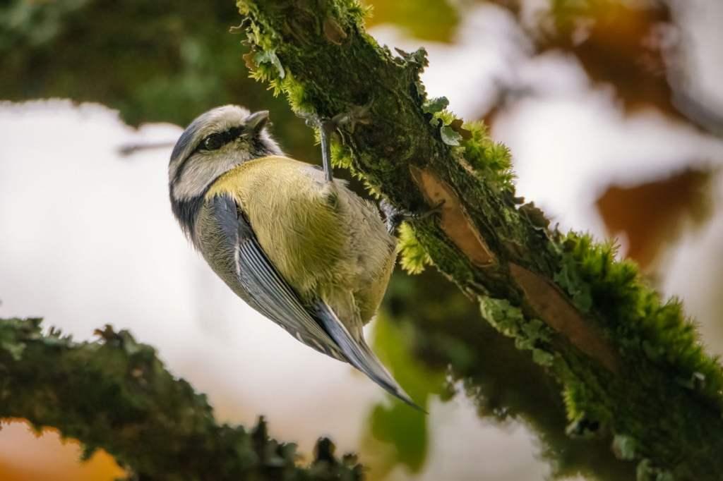Pițigoiul mare este o pasare foarte des fotografiata in Wildlife photography