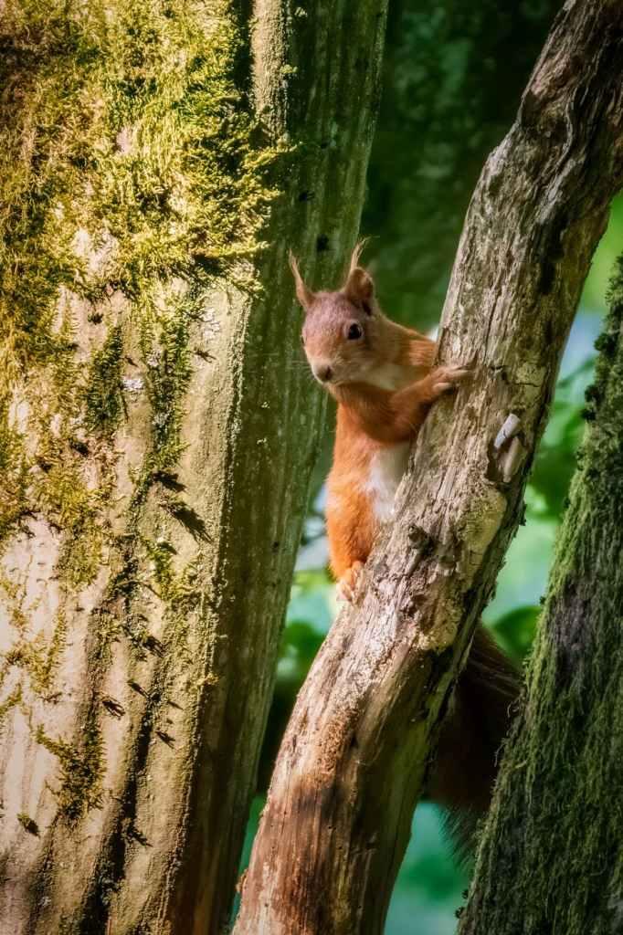 Veverița roșie-Sciurus vulgaris