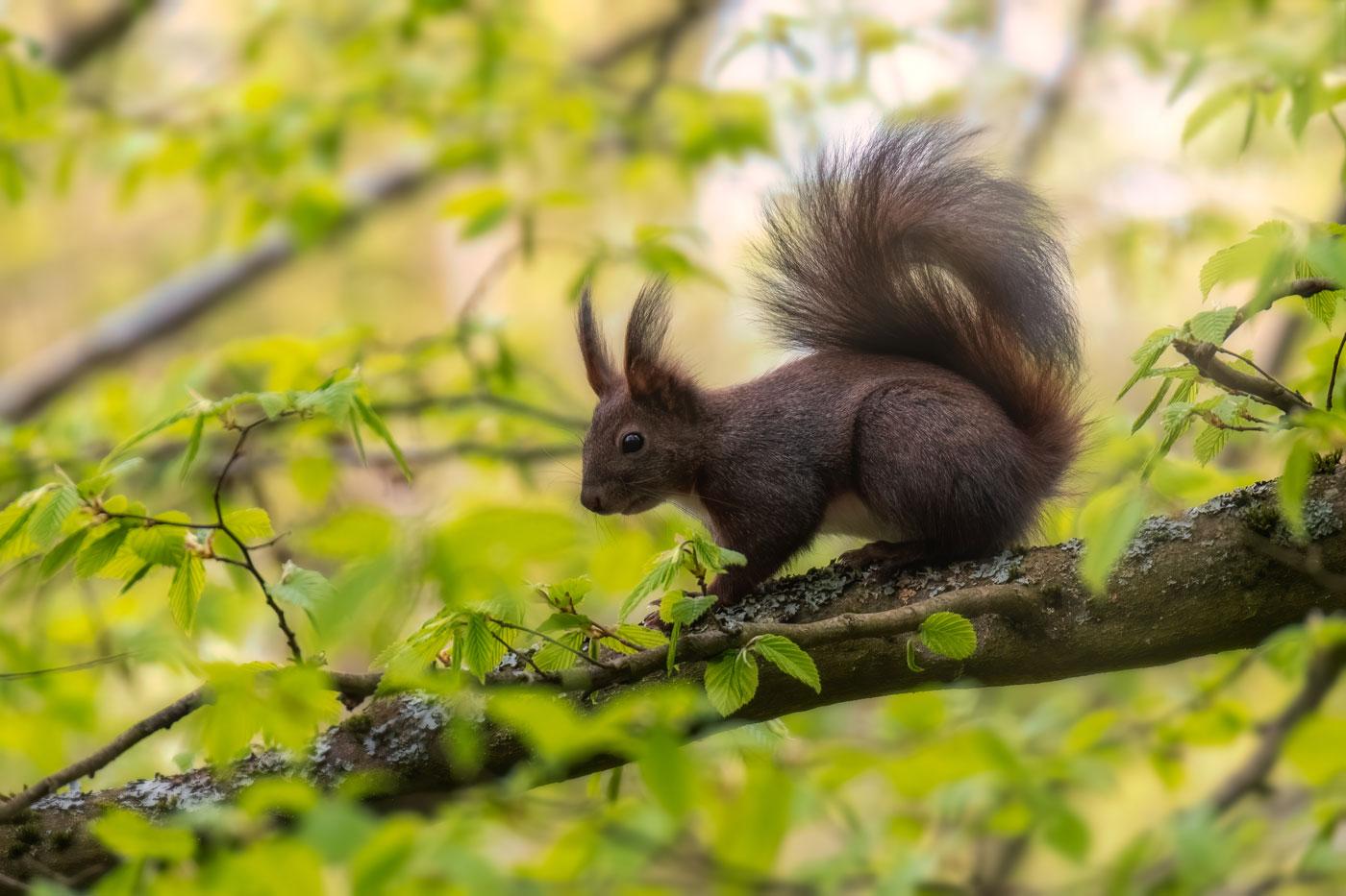 Veverița roșie (Sciurus vulgaris)