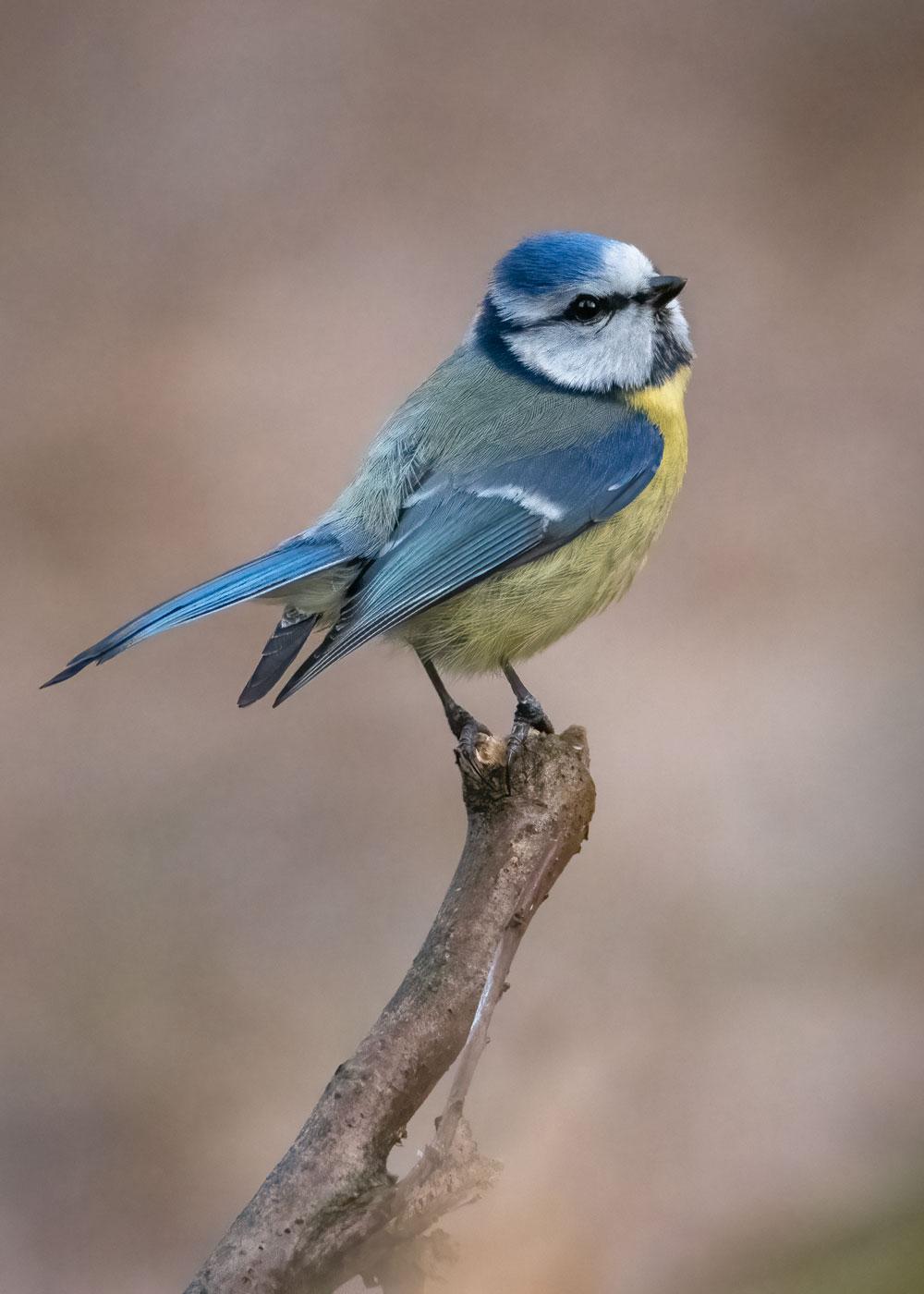 Pitigoi albastru-Parus caeruleus