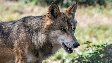Photo de loup