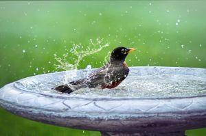 Un oiseau se lave