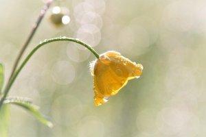 La fleur: le bouton d'or