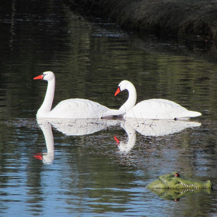 Swan-with-Alligator