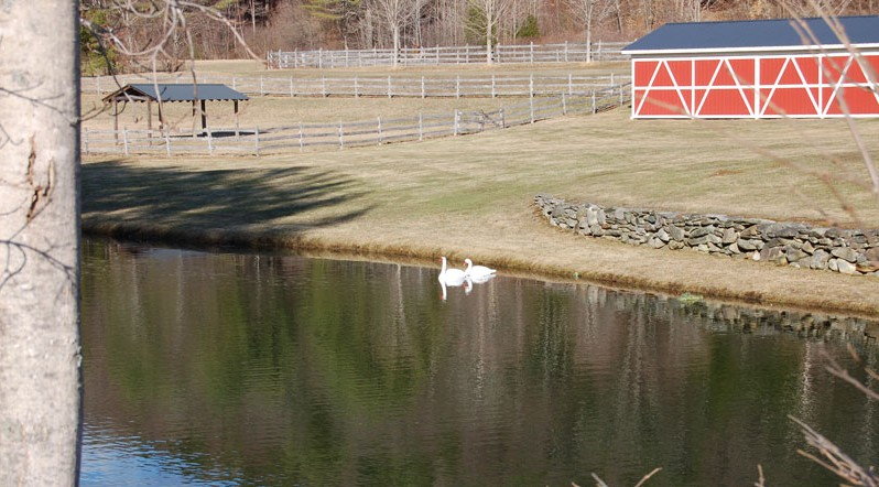 Swans-at-Indian-Acres-1