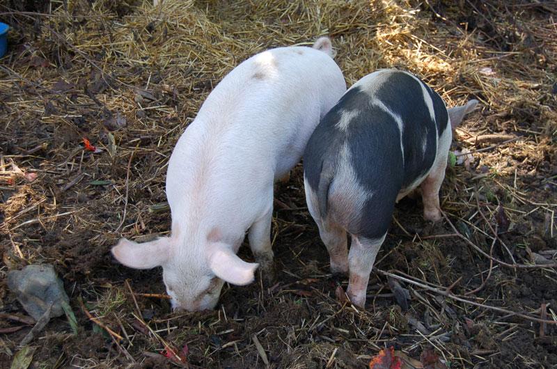 Pigs-rooting