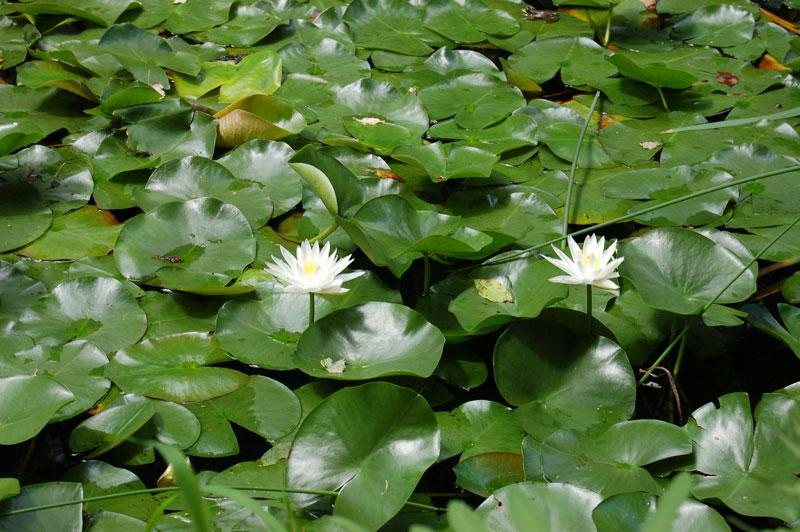Grassy Brook Waterlilies