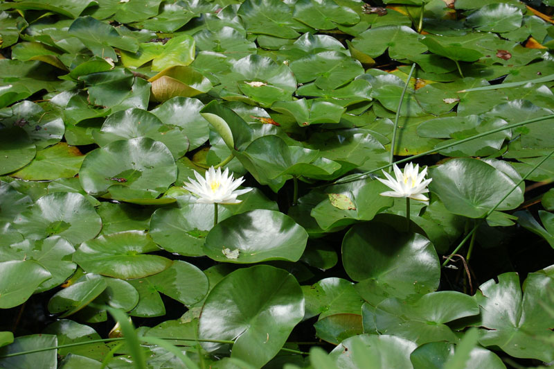 Grassy Brook Waterlilies