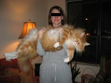 Riesenkatzen Die Größten Hauskatzen Der Welt Extremes